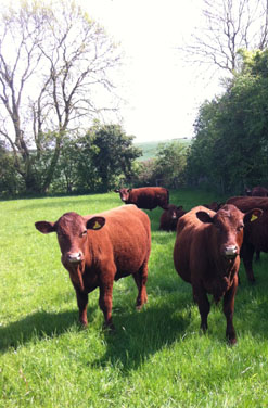 Ruby Red Deveon Cattle at Scald End Farm